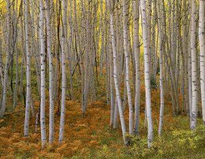 autumn-aspen-kebler-pass