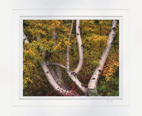 Autumn Birch - matted by John Barger. ()