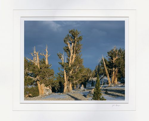 Bristlecones & Storm Clouds - matted by John Barger. (Landscape Photography)