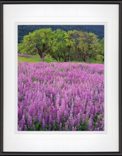Lupine & Oaks - matted framed by John Barger. (Landscape Photography)