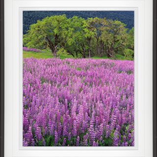 lupine-oaks-framed