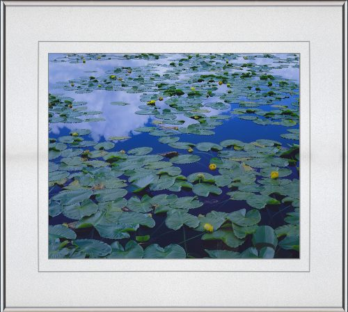 Pond Lily Reflection, matted, framed by John Barger. (Landscape Photography)